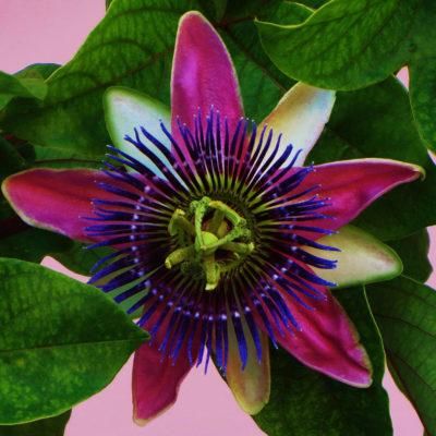 Passion Flower - 139 - Roland Skinner Bermuda Photography