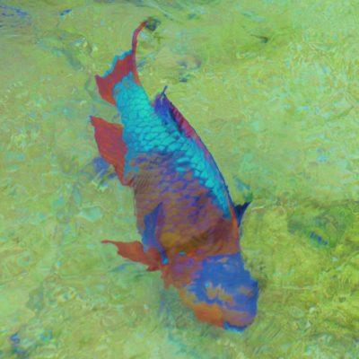 Parrot Fish - 36 - Roland Skinner Bermuda Photography