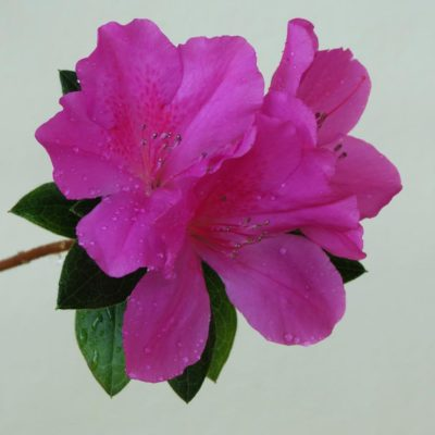 Rhododendron - 45 - Roland Skinner Bermuda Photography