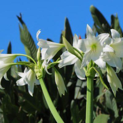 White Lilies - 48 - Roland Skinner Bermuda Photography