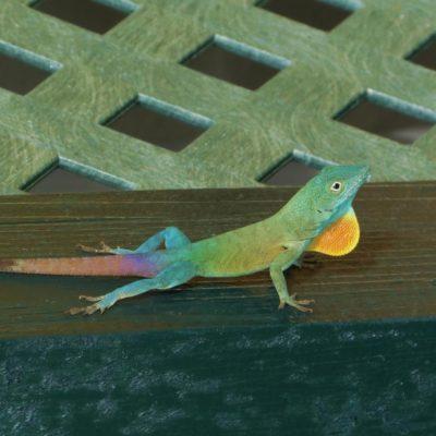 Lizard - 51 - Roland Skinner Bermuda Photography