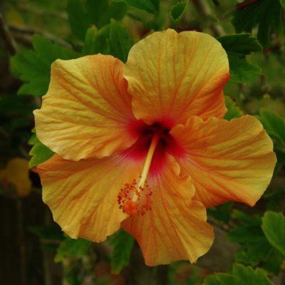 Hibiscus - 60 - Roland Skinner Bermuda Photography