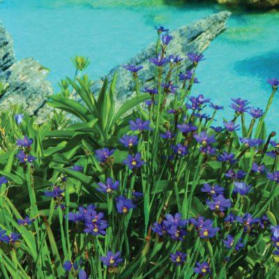 Bermudiana - national flower - 113 - Roland Skinner Bermuda Photography