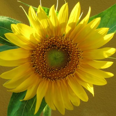 Sunflower - 120 - Roland Skinner Bermuda Photography