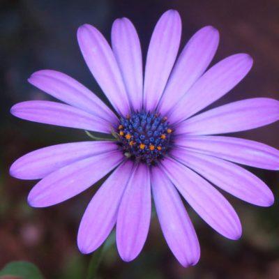 Purple Daisy - 123 - Roland Skinner Bermuda Photography