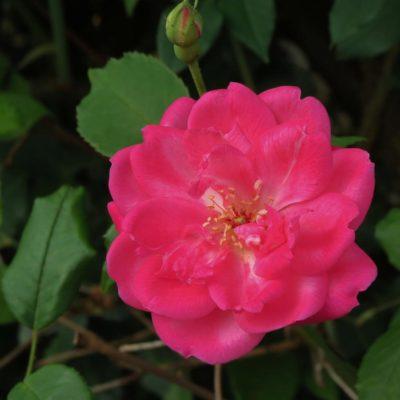 Rose - Bloom - 154 - Roland Skinner Bermuda Photography