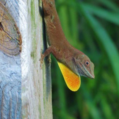 lizard-176-roland-skinner-bermuda-photography